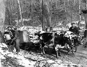 Collecting sap from maple trees, 1952